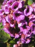 Flores mucho magentas Fotografía de archivo libre de regalías