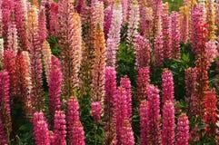 Flores multicoloras Imagen de archivo libre de regalías