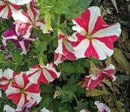 Flores multicoloras Imagenes de archivo