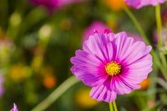 Flores multicoloras del bipinnatus del cosmos en cosmos como fondo Imagenes de archivo