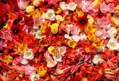Flores multicoloras del tulipán Foto de archivo libre de regalías