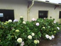 Flores muy hermosas de la rosa del blanco foto de archivo libre de regalías