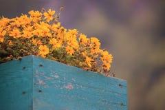 Flores na caixa de madeira Fotos de Stock Royalty Free