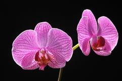Flores na cena preta Imagem de Stock