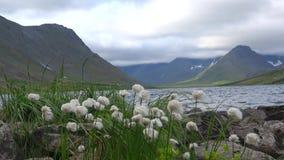 Flores na costa do lago Hadataeganlor Ural polares, Rússia filme