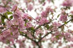 Flores na maçã Fotografia de Stock