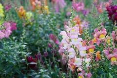 Flores na mola Fotografia de Stock Royalty Free
