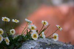 Flores na montanha Fotografia de Stock