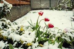 Flores na neve, tulipas vermelhas na vista através da neve, mais baixa Imagens de Stock Royalty Free