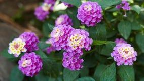 Flores na primavera 02 do Lantana filme