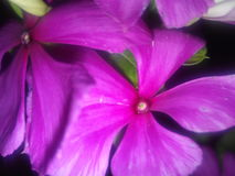 Flores na sombra Fotografia de Stock Royalty Free
