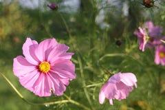 Flores na vila polonesa na manhã fotografia de stock royalty free