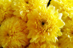 Flores naranja-amarillas del crisantemo del primer Fotos de archivo libres de regalías