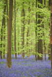 Flores nas madeiras perto de Hal, Bélgica Fotos de Stock Royalty Free