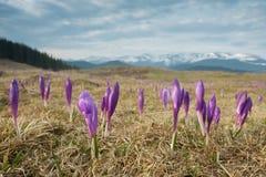 Flores nas montanhas Imagem de Stock Royalty Free