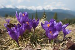 Flores nas montanhas Imagens de Stock Royalty Free