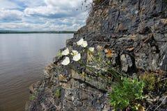 Flores nas rochas Fotografia de Stock