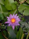 Flores nativas de Havaí Imagens de Stock Royalty Free