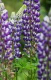 Flores naturales púrpuras Imagenes de archivo