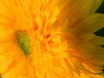 Flores, naturaleza, jardín, campo, al aire libre, ¿Ð°ÑƒÐº, pétalos de la araña, belleza, hermoso, blanca, amarillo de Ð Imágenes de archivo libres de regalías