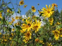 Flores naturalmente amarelas orgânicas biológicas com zangões e abelhas imagens de stock royalty free