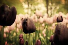 Flores negras únicas del tulipán en hierba verde Imagen de archivo libre de regalías