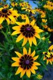Flores negras y amarillas hermosas Imagen de archivo