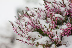 Flores nevadas Foto de archivo libre de regalías