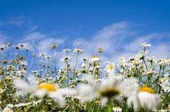 Flores no céu azul Fotografia de Stock Royalty Free