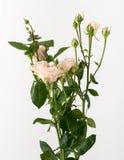 Flores no fundo branco Foto de Stock
