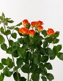 Flores no fundo branco Fotografia de Stock Royalty Free