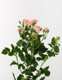 Flores no fundo branco Fotografia de Stock