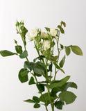 Flores no fundo branco Imagens de Stock Royalty Free