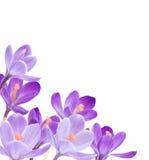 Flores no fundo branco Imagem de Stock Royalty Free