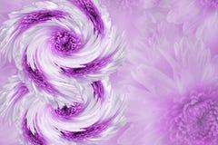 Flores no fundo branco-cor-de-rosa obscuro crisântemo Azul-branco das flores colagem floral Composição da flor 8 de março Imagem de Stock Royalty Free