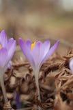 Flores no fundo macro do borrão do whit Açafrão do roxo da mola Açafrões de florescência no esclarecimento Imagens de Stock