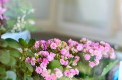 Flores no indicador Kalanchoe Fotografia de Stock
