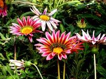 Flores no jardim Imagem de Stock Royalty Free