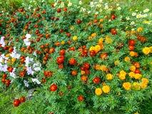 Flores no jardim Flores de Tagetes no jardim imagens de stock royalty free