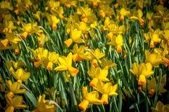Flores no Keukenhof fotografia de stock