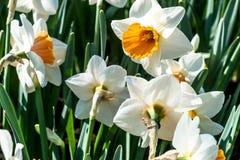 Flores no Keukenhof Imagens de Stock Royalty Free
