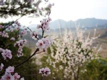 Flores no Pequim Fotos de Stock Royalty Free
