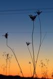 Flores no por do sol Imagem de Stock
