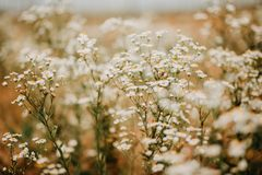 Flores no prado do verão Imagem de Stock Royalty Free