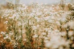 Flores no prado do verão Fotografia de Stock Royalty Free