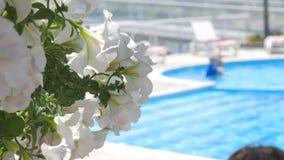Flores no primeiro plano Nadar na flor branca da associação e dos cheiros Vadio de Sunbed perto da piscina vídeos de arquivo