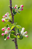 Flores no ramo da árvore de fruto Foto de Stock