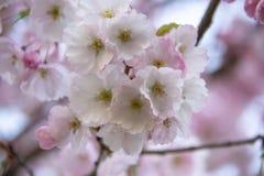 Flores no ramo no fundo obscuro natural durante a florescência da mola Ramifique com flores de sakura Br de florescência da árvor Fotografia de Stock Royalty Free