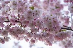 Flores no ramo no fundo obscuro natural durante a florescência da mola Ramifique com flores de sakura Br de florescência da árvor Fotografia de Stock
