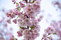 Flores no ramo no fundo obscuro natural durante a florescência da mola Ramifique com flores de sakura Br de florescência da árvor Imagens de Stock Royalty Free